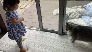 ダッシュするタイミングを待っていた猫 ノルウェージャンフォレストキャットA cat waiting for the timing to dash. Norwegian Forest Cat.