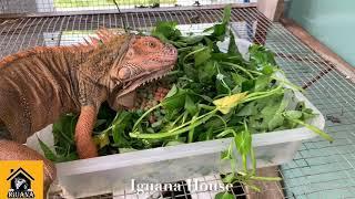 Iguana House . Chăm sóc Iguana .so sánh 5.1 vs JBL ( care iguana with 5.1 food )