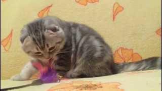 Купить шотландского вислоухого котенка в питомнике Москва