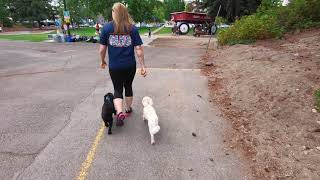 Chinese Crested Powder Puffs Off Leash All Stars | Off Leash K9 Training Spokane |