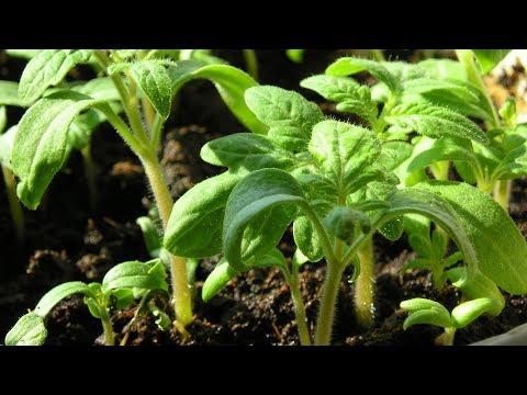 Когда сеять томаты  Не спешите сеять рано! | выращивать | томатов | рассаду | томаты | посева | сроки | сеять | семян | садов | посев