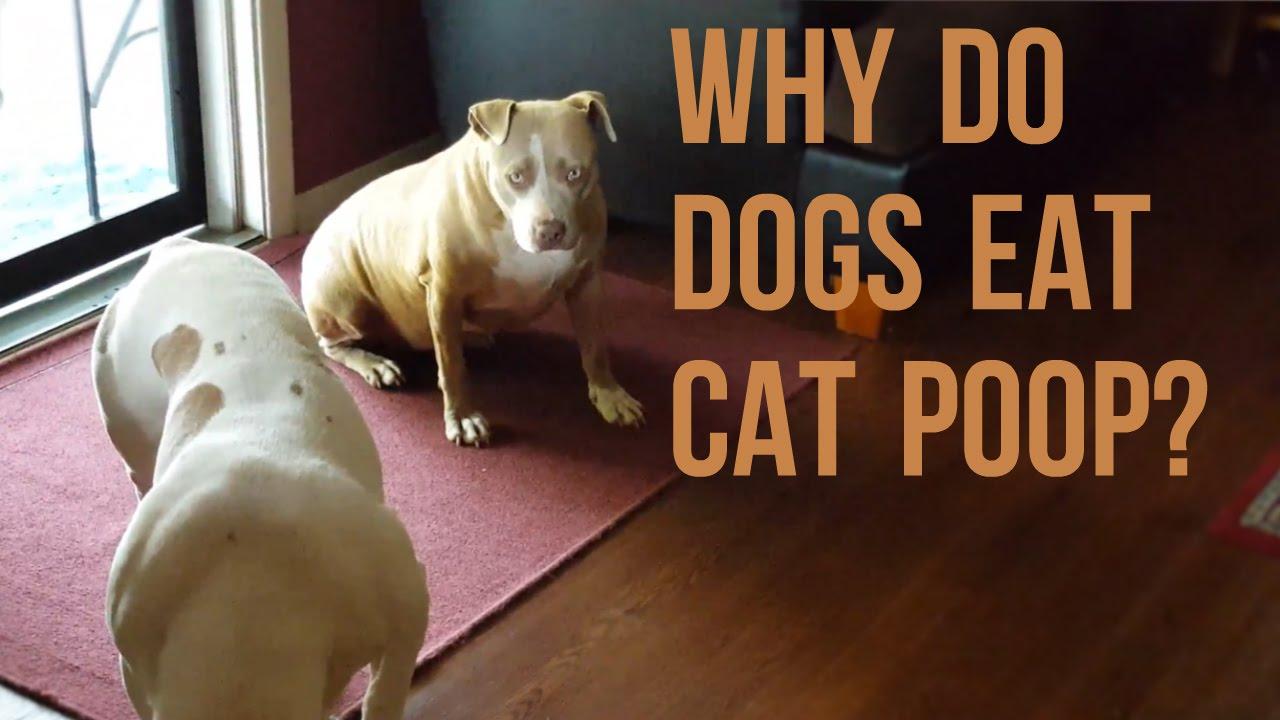 why do dogs pitbulls eat cat poo   youtube