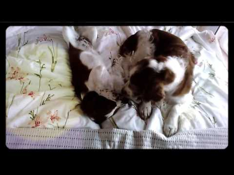 Welsh Springer Spaniel - Whisky washing puppy Fable