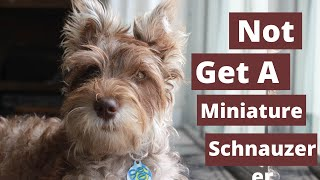 Why you Shouldn't get a Miniature Schnauzer ( 6 Reasons )