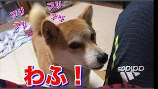 これは遊ばざるを得ない!柴犬ハナのわふアピールが半端なかった -- Shiba wants to play.--