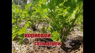 КОРНЕВОЙ СЕЛЬДЕРЕЙ/ уход, полив, подкормка/ОГУРЦЫ и ГОРОШЕК в открытом грунте/секрет хорошего урожая