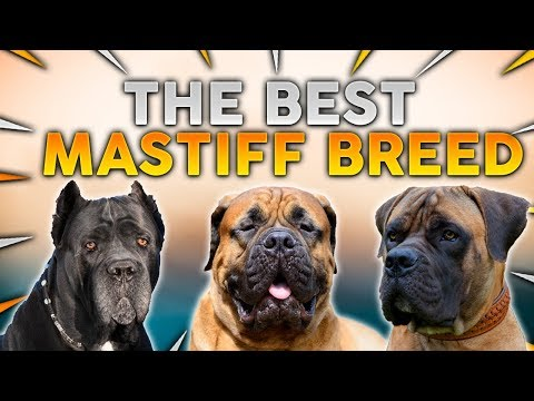 The BEST MASTIFF Dog Breed For First Time Owners!