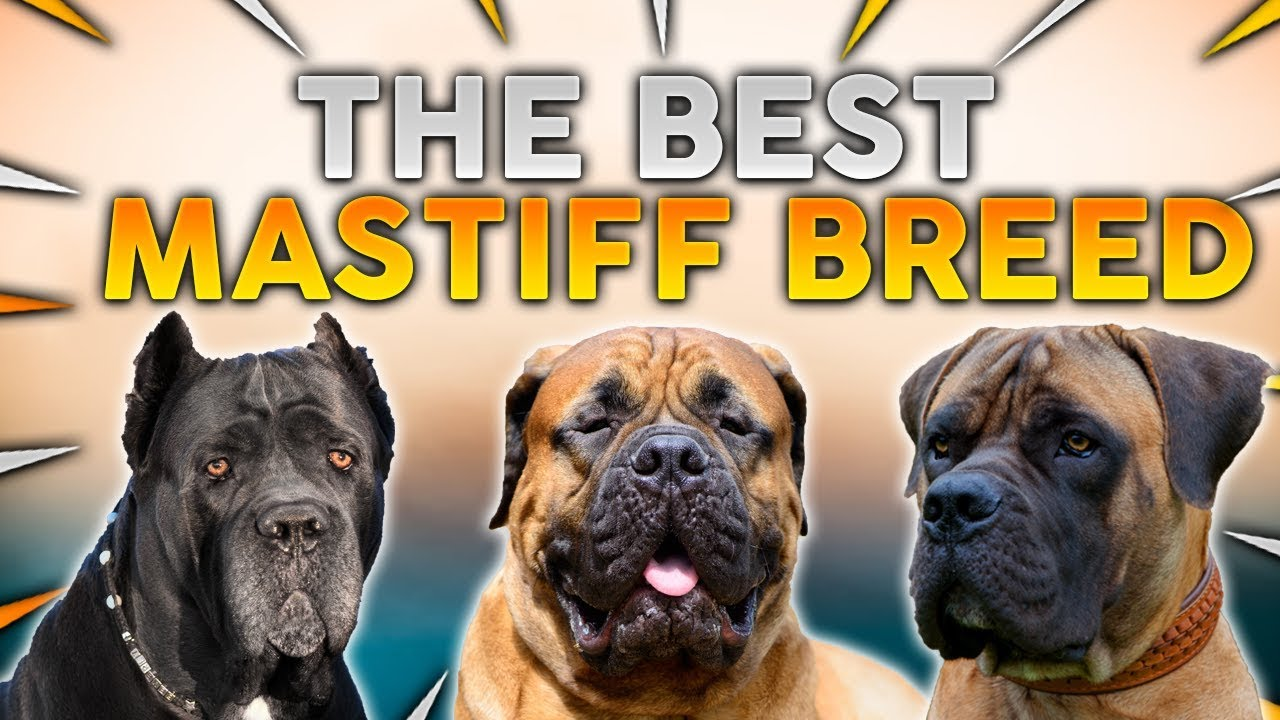 Mastiff Dog Breed For First Time Owners