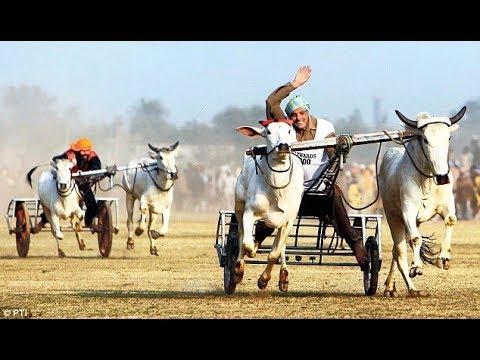 [live] OX race Randhawa [Hoshiarpur] Friday 4 May 2018