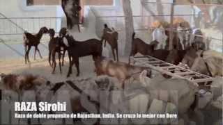 La cria de cabras | Granja Qureshi, Fatehpur de Rajasthan INDIA