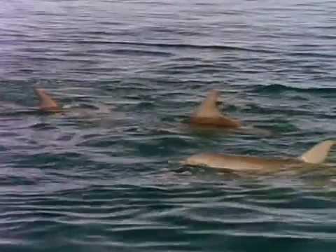 NOVA - Private Lives of Dolphins
