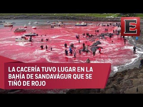 Japoneses realizan caza masiva de ballenas en Islas Feroe
