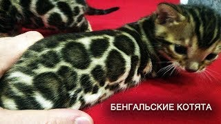 Бенгальские котята (питомник Aventinus Bengal Cattery)