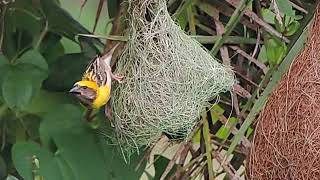 Slow Motion Video Of Weaver Bird