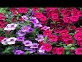How To Grow Flowers:  Easy To Grow Annuals With Low Maintenance By Smiths Country Gardens