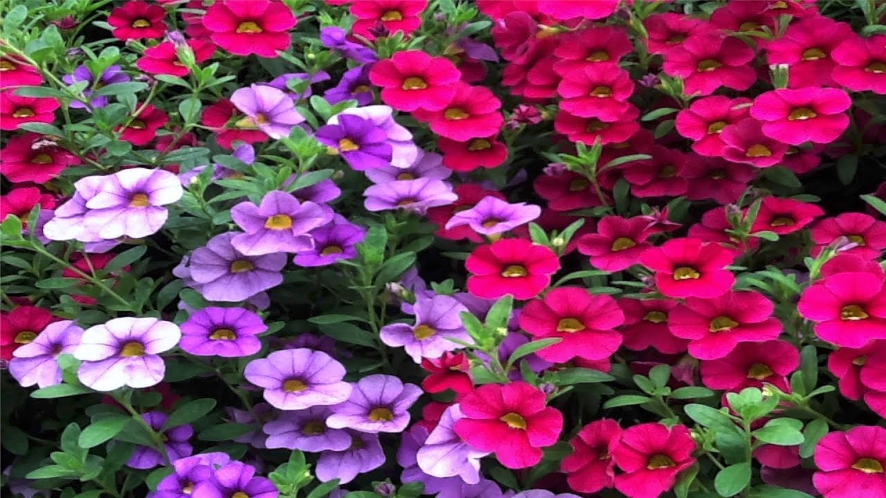 How to grow flowers easy to grow annuals with low for Pretty low maintenance flowers