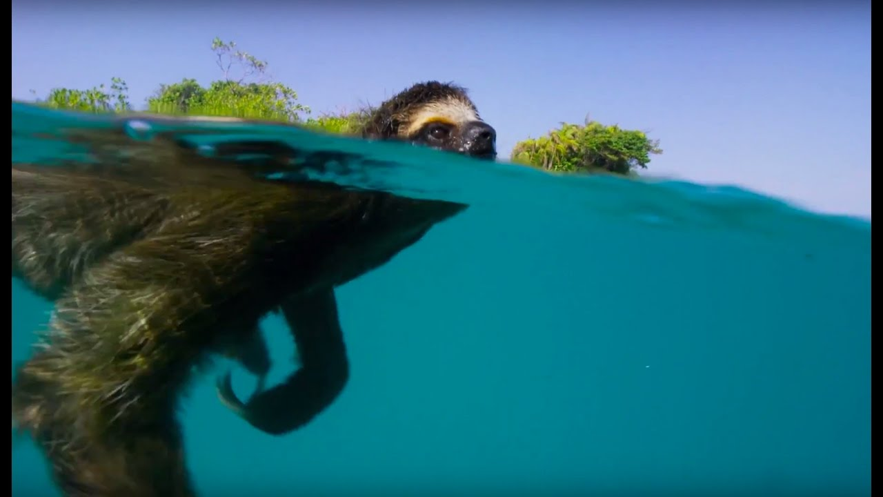 Cute Cartoon Animal Wallpaper Swimming Sloth Searches For Mate Planet Earth Ii Youtube