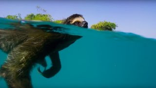 Swimming Sloth Searches For Mate | Planet Earth II