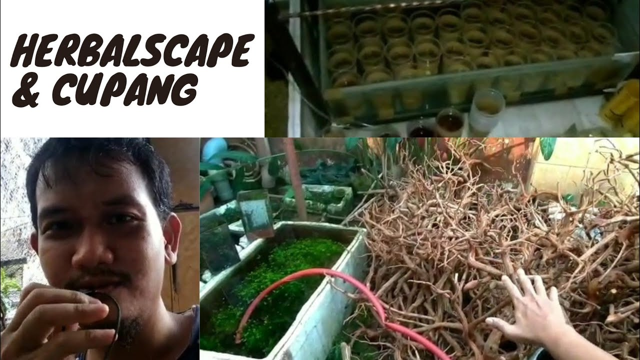 Pedagang cupang dan aquascape di farm herbal scape...cakep bnget koleksinya boskuu😍