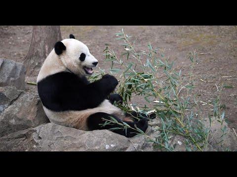 Live: Panda Bao Bao returns to Chengdu in SW China