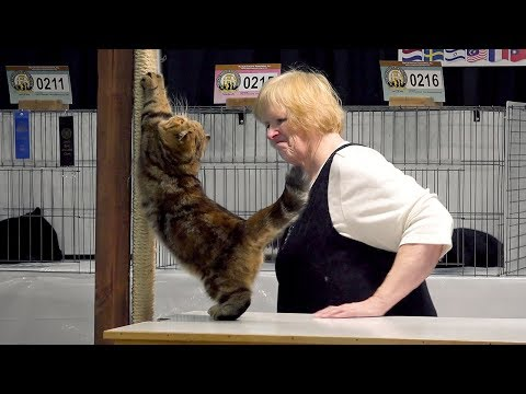 CFA International Cat Show 2017 - Championship Zots