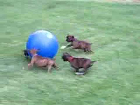 Boxer Puppies chase a ball