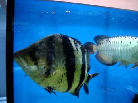 Amazonas : Silver Arowana fish tank II - YouTube |Giant Arowana