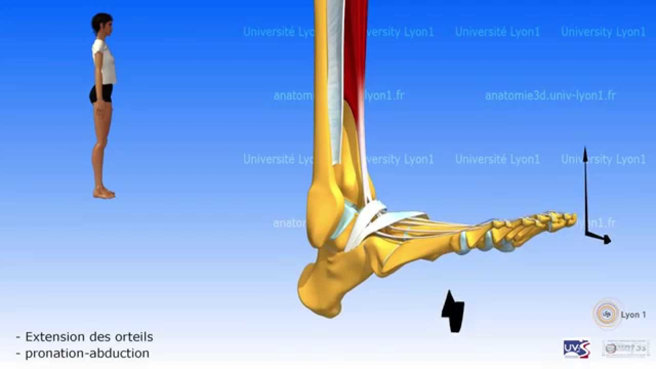 La jambe. Loge antérieure. Le retinaculum de la loge des extenseurs du pied.