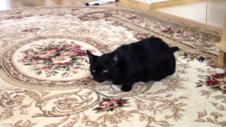 Кашель кошки