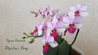 Dtps.Liu'sBerry  Цветение орхидеи фаленопсис Льюис Берри  Blossoming Dtps.Liu'sBerry  орхидея