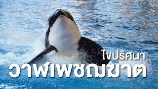 สารคดี สำรวจโลก ตอน เรื่องน่ารู้เกี่ยวกับวาฬเพชฌฆาต