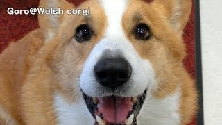 Goro is talking something. / 何かお話してるコーギー 20140303 Goro@Welsh corgi