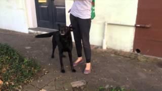 The Good Dog Minute 10/27/14: Nino, Human Aggressive Street Dog.
