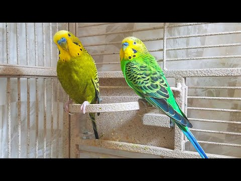 If Your Budgies Don't Chirp, Playing This Video Will Help Lonely Birds Start To Chirp.