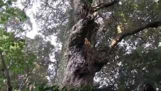 神が宿る樹~天上と地上とを結ぶ老樹
