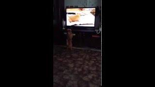 Любознательная Тесс )) собака смотрит телевизор