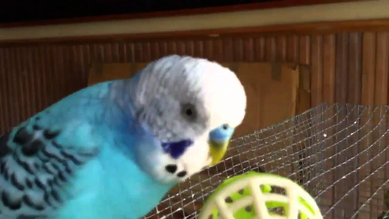 Budgie chatter over washing machine noise