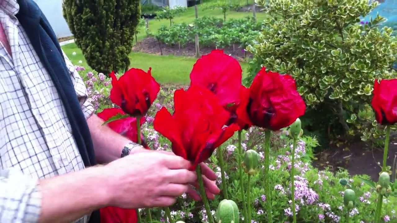 Oriental Poppy Beauty Of Livermere Youtube
