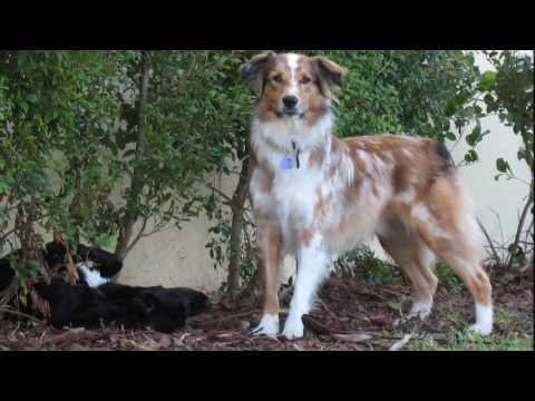 Australian Shepherd Dog  History, Personality, Health, Care