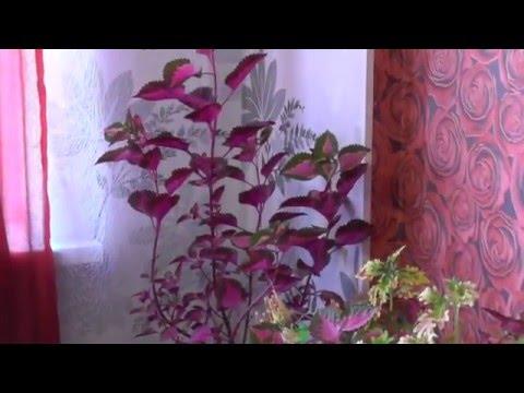 Не переборщите, чтобы корни не сжечь!. После такого полива герань непрерывно цветет!. Какие цветы не нужно держать дома. Цветы в доме. Выпуск 2.