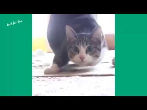 aula 1- Desafio tente não rir gatos engraçados