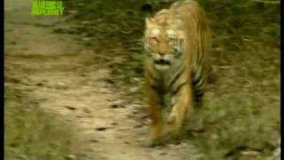 Tiger Charges At Filming Team