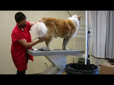 Chow Chow Mix Trying to save the coat Video 1 permission to shave