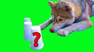 ТРИ СТАКАНА ЧЕЛЛЕНДЖ (Хаски Бублик) Говорящая собака Mister Booble