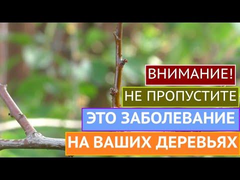 ПОСЛЕДСТВИЯ ХОЛОДНОЙ И МОКРОЙ ВЕСНЫ  - МОНИЛИОЗ!!!
