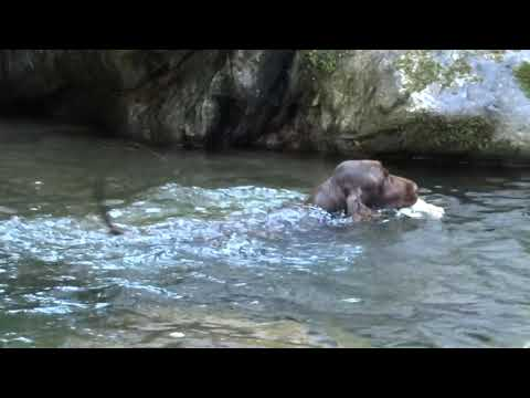 Plume - Field Spaniel water retrieving