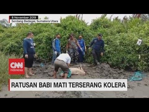 Ratusan Babi di Sumut Mati Terserang Kolera