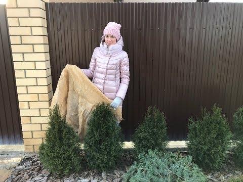 Как укрыть на зиму можжевельник