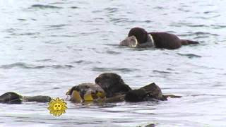 Mother sea otters and their pups