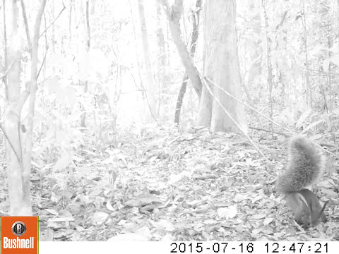 Alleged Killer Squirrel Is Captured On Camera For The First Time